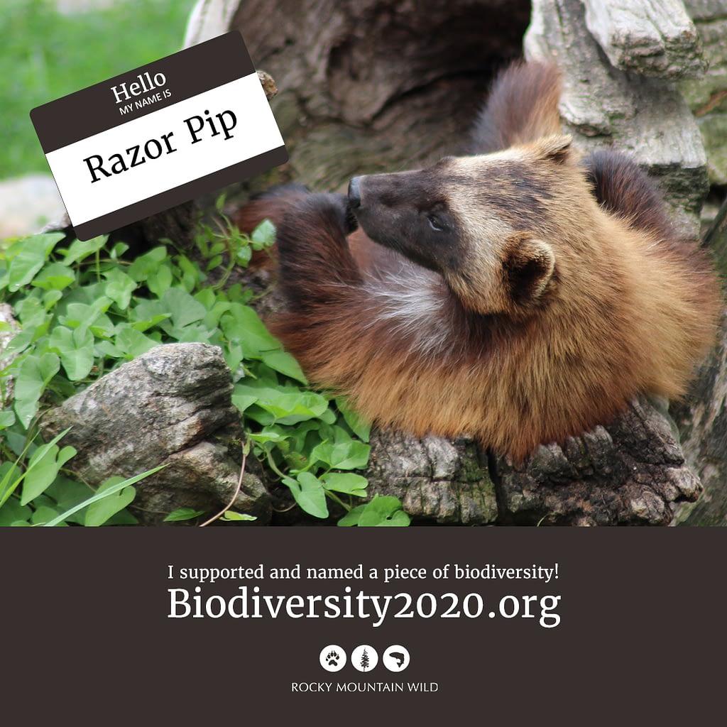 A wolverine named Razor Pip