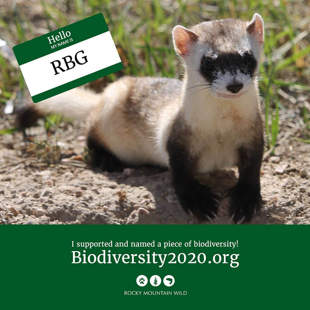 Black-footed ferret named RBG