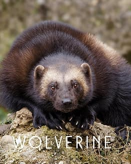 Name the Wolverine