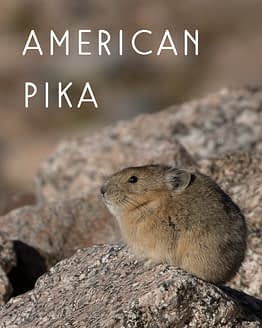 Naming Rights to American Pika