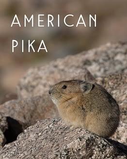 Naming Rights to American Pika