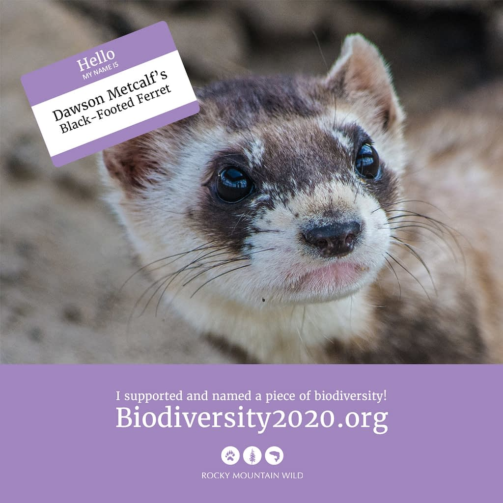 A black-footed ferret named Dawson Metcalf's Black-footed Ferret