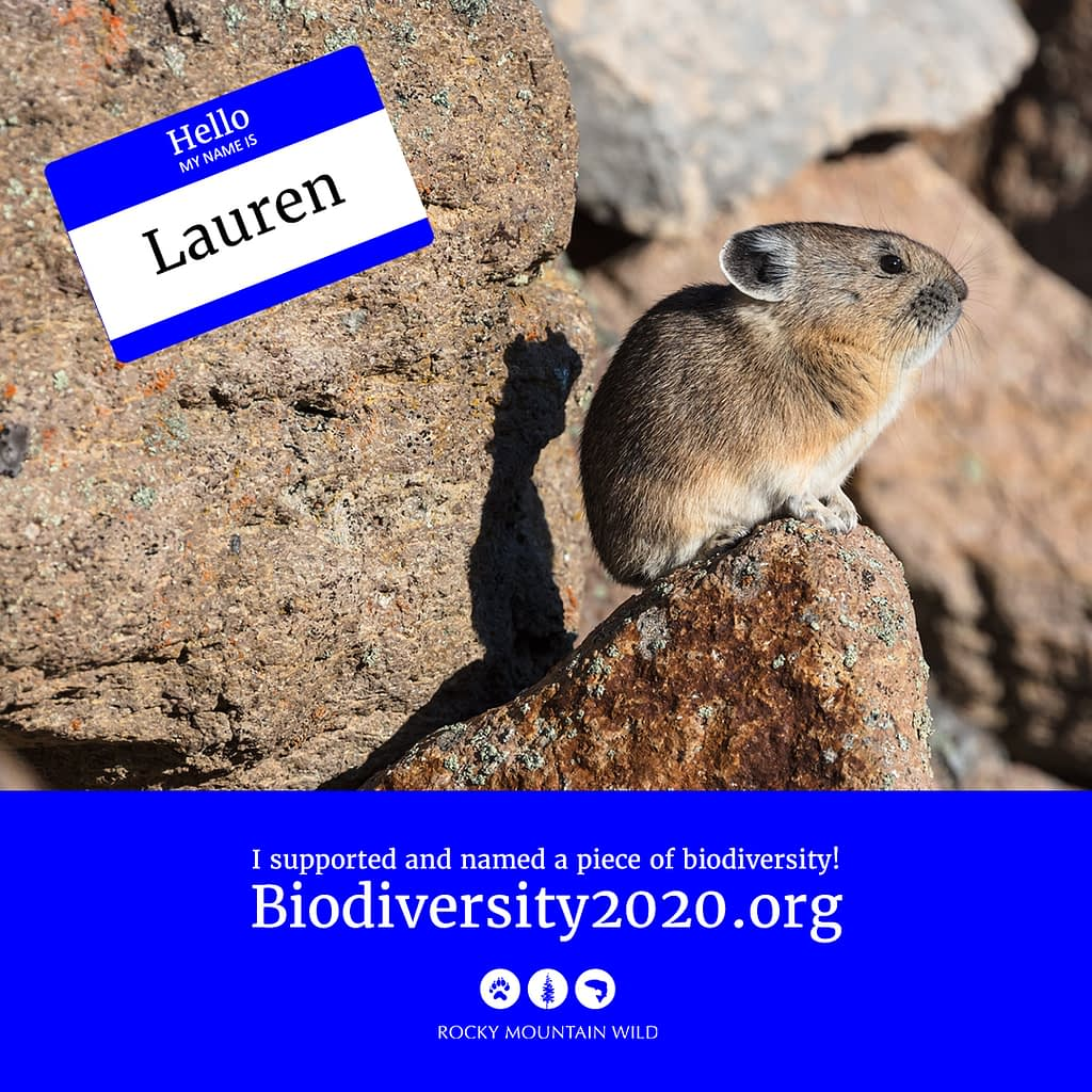 American pika named Lauren