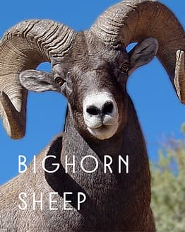 Name the Bighorn Sheep