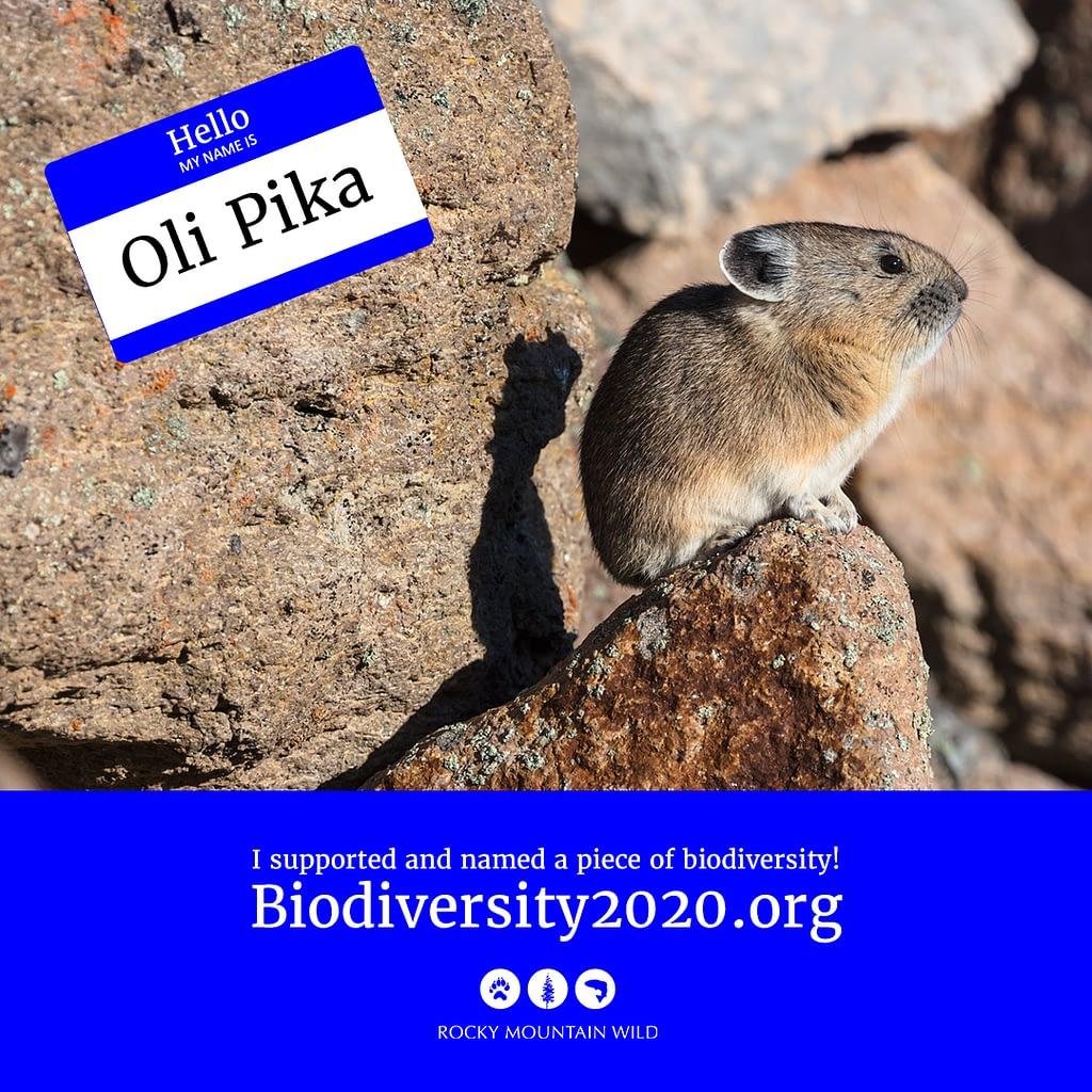 An American pika named Oli Pika
