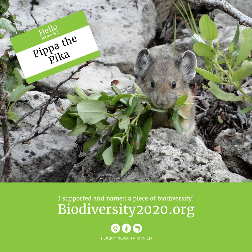 An American pika named Pippa the Pika