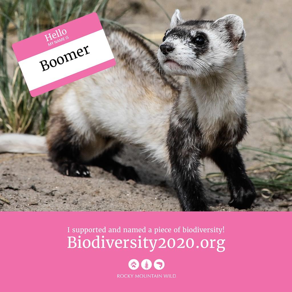 Black-footed ferret named Boomer