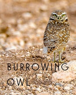 Name the Burrowing Owl