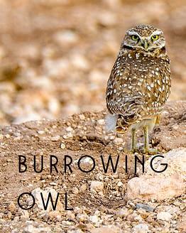 Name the Burrowing Owl