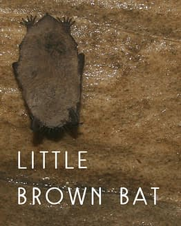 Naming Rights to the Little Brown Bat
