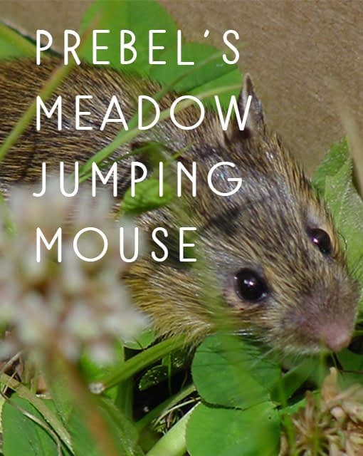 Name the Preble's meadow jumping mouse