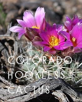 Colorado Hookless Cactus