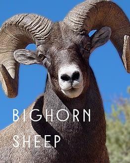 Name the Bighorn Sheep