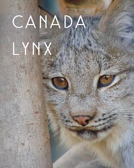 Naming Rights to Canada Lynx