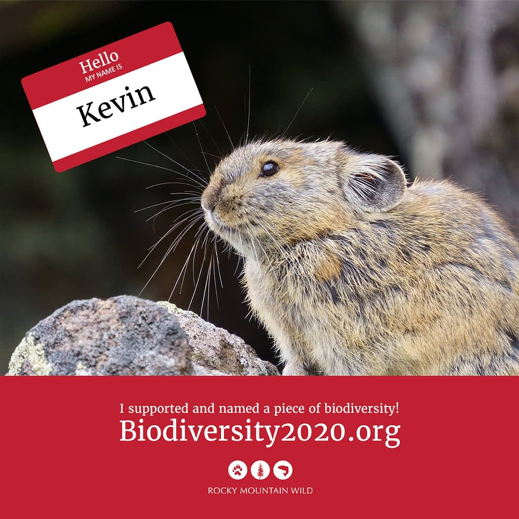 American pika named Kevin