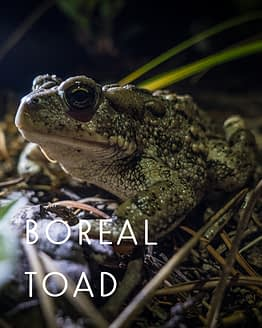 Naming rights for the boreal toad