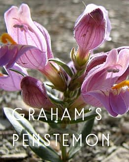 Name the Graham's Penstemon
