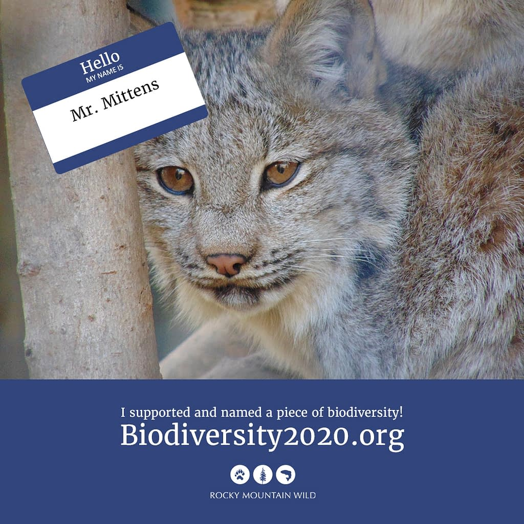 Canada lynx named Mr. Mittens