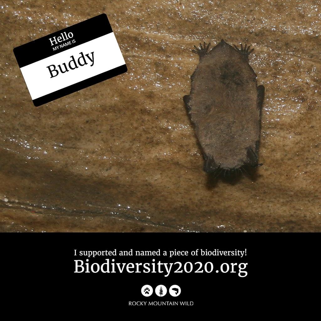 Little brown bat named Buddy